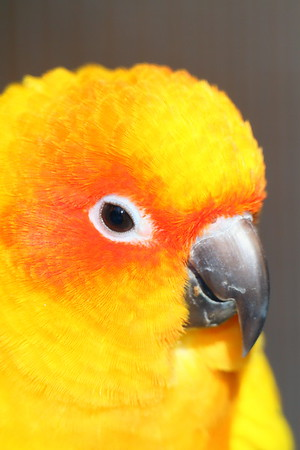 Sun Conure (c) at Sylvan Heights Bird Park, Scotland Neck, NC. © 2011 Kenneth R. Sheide