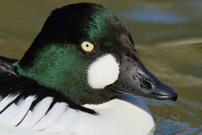 (C) Common goldeneye (Bucephala clangula) portrait, Sylvan Heights Bird Park, NC. © 2012 Kenneth R. Sheide