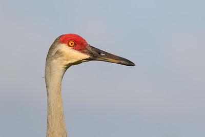 Sandhill Crane (Grus canadensis) portrait. Viera (Grissom) Wetlands, Viera, FL. © 2021 Kenneth R. Sheide