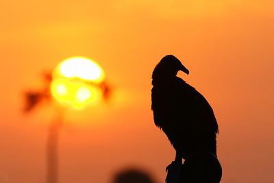 Black Vulture (Coragyps atratus) resting at sunrise. Viera (Grissom) Wetlands, Viera, FL. © 2021 Kenneth R. Sheide