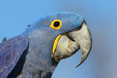 (C) Hyacinth Macaw (Anodorhynchus hyacinthinus) at Sylvan Heights Bird Park, NC. © 2012 Kenneth R. Sheide