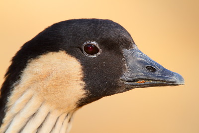 (C) Nene AKA Hawaiian goose (Branta sandvicensis) portrait. Sylvan Heights Bird Park, NC. © 2012 Kenneth R. Sheide