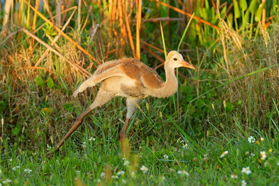 Sandhill Crane (Grus canadensis) colt doing morning yoga. Viera (Grissom) Wetlands, Viera, FL. © 2021 Kenneth R. Sheide