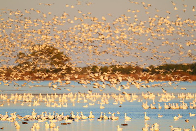 A flock of snow geese at sunset. Chincoteague National Wildlife Refuge, VA. © 2011 Kenneth R. Sheide