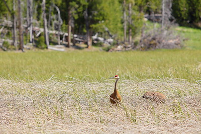 Sandhill cranes at Yellowstone National Park, WV. © 2013 Kenneth R. Sheide
