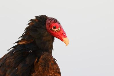 Turkey Vulture (Cathartes aura) portrait. Viera (Grissom) Wetlands, Viera, FL. © 2021 Kenneth R. Sheide