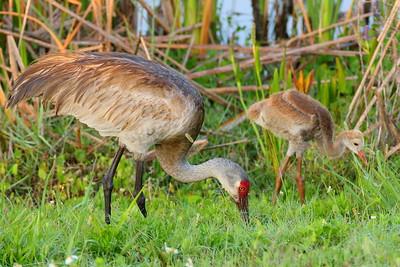 Sandhill Crane (Grus canadensis) mother and colt feeding at Viera (Grissom) Wetlands, Viera, FL. © 2021 Kenneth R. Sheide