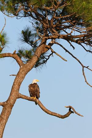 Bald Eagle (Haliaeetus leucocephalus) watching the sunset at Viera (Grissom) Wetlands, Viera, FL. © 2021 Kenneth R. Sheide