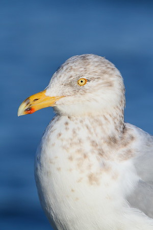 Young Herring Gull at Barnegat Jetty, NJ. © 2011 Kenneth R. Sheide