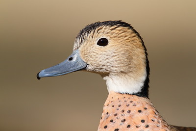 (C) Ringed teal (Calonette leucophrys) portrait, Sylvan Heights Bird Park, NC. © 2012 Kenneth R. Sheide