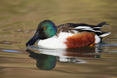 (C) Northern Shoveler (Anas clypeata)  drake at Sylvan Heights Bird Park, NC. © 2012 Kenneth R. Sheide