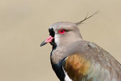 Southern Lapwing (Vanellus chilensis). Sylvan Heights Bird Park, Scotland Neck, NC.  © 2021 Kenneth R. Sheide