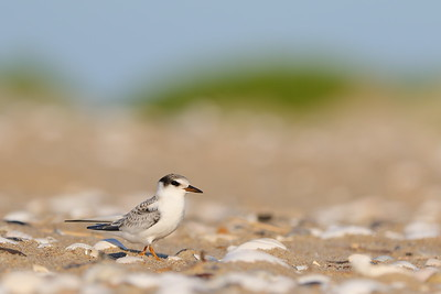 Juvenile Least Tern on Pea Island, NC. © 2015 Kenneth R. Sheide