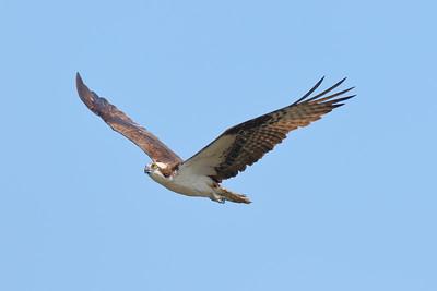 Osprey in flight in Hampton, VA. © 2018 Kenneth R. Sheide