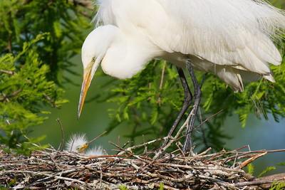 Great Egret (Ardea alba) watching young chick in nest. Audubon Swamp, Magnolia Plantation, Charleston, SC. © 2021 Kenneth R. Sheide