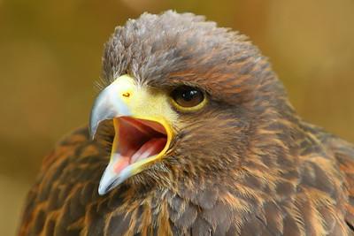 (C) Golden Eagle (Aquila chrysaetos) calling at Pacific NW Raptors, BC. © 2012 Kenneth R. Sheide