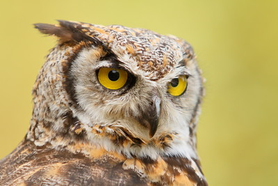 (C) Great Horned Owl (Bubo virginianus) at Pacific NW Raptors, BC. © 2012 Kenneth R. Sheide