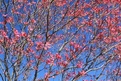 Pink dogwood blooms, Bombay Hook NWR, DE. © 2014 Kenneth R. Sheide