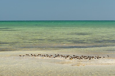 A flock of mixed birds rests in the Florida Keys. © 2011 Kenneth R. Sheide