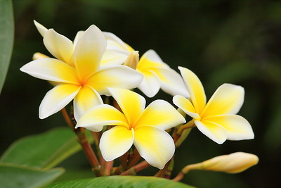 Plumeria blooms, Norfolk Botanical Garden, VA. © 2013 Kenneth R. Sheide