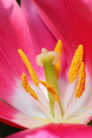 Inside a tulip at Norfolk Botanical Garden, VA. © 2013 Kenneth R. Sheide
