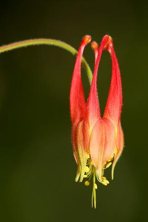 Columbine, Norfolk Botanical Garden, VA. © 2013 Kenneth R. Sheide