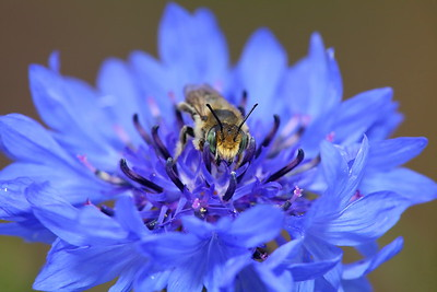 Bee on bachelor button, Norfolk Botanical Garden, VA. © 2013 Kenneth R. Sheide