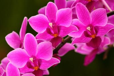 Orchids at Norfolk Botanical Garden, VA. © 2012 Kenneth R. Sheide