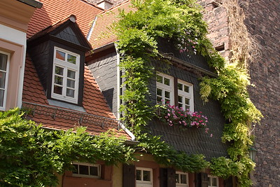 Vine-covered buildings in the city of Heidelberg, Germany. © 2004 Kenneth R. Sheide