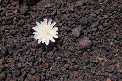 A solitary flower emerges from the lava rock at Craters of the Moon National Monument, ID. © 2013 Kenneth R. Sheide