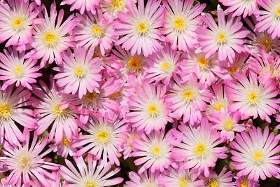 Pink blooms at Norfolk Botanical Garden, VA. © 2013 Kenneth R. Sheide