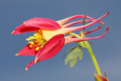 Columbine bloom, Norfolk Botanical Garden, VA. © 2013 Kenneth R. Sheide