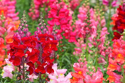 Snapdragons at Norfolk Botanical Garden, VA. © 2013 Kenneth R. Sheide