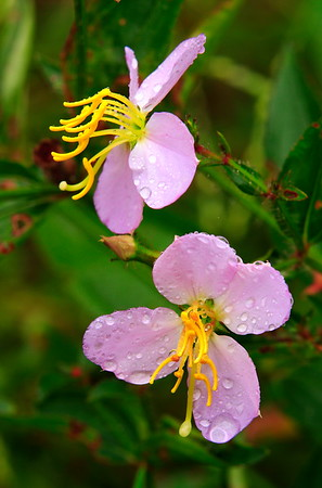 Virginia meadow beauty (Rhexia virginica) at Sandy Bottom Nature Park, Hampton, VA. © 2005 Kenneth R. Sheide