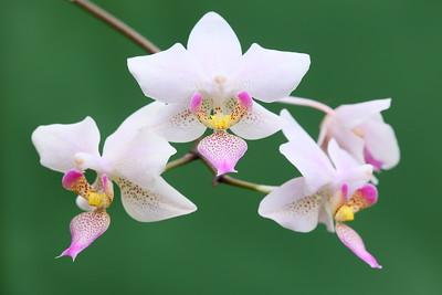 Orchid blooms at Norfolk Botanical Garden, VA. © 2013 Kenneth R. Sheide