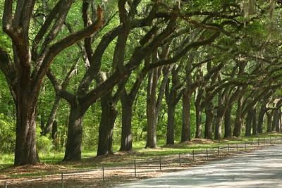 Live oaks at Wormsloe, Savannah, GA. © 2021 Kenneth R. Sheide