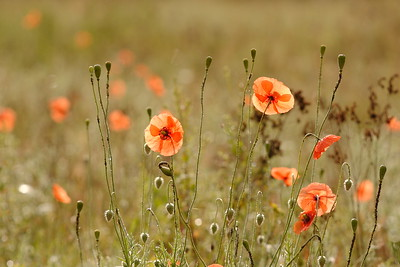 A field of poppies near Pirmasens, Germany lit by the morning sun. © 2004 Kenneth R. Sheide