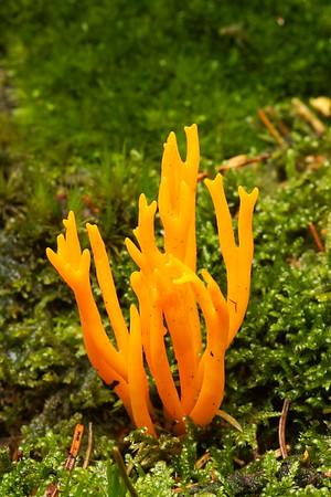 Coral mushroom in the woods near Hohenecken, Germany. © 2004 Kenneth R. Sheide