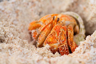 Hermit crab on Tarague Beach, Guam. © 2009 Kenneth R. Sheide