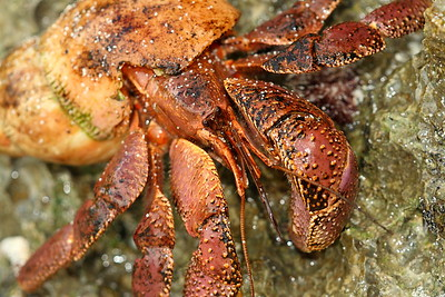 Indonesian Crab (Coenobita brevimanus) on Haputo Beach, Guam. © 2008 Kenneth R. Sheide