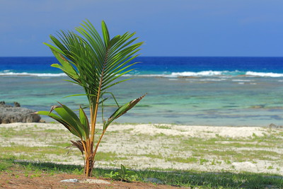 Young palm taking root on Tarague Beach, Guam. © 2008 Kenneth R. Sheide