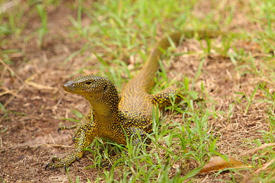 Mangrove Monitor on Guam. © 2008 Kenneth R. Sheide