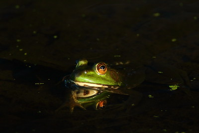 Bullfrog lit by sliver of sun in Newport News, VA. © 2012 Kenneth R. Sheide