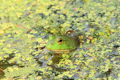 Female American Bullfrog (Lithobates catesbeianus) in Newport News, VA. © 2007 Kenneth R. Sheide