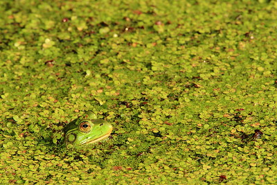 American Bullfrog looking for a meal in the duckweed in Newport News, VA. © 2007 Kenneth R. Sheide