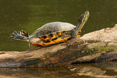 Red-eared Slider (Trachemys scripta elegans) warming itself in the sun. Newport News, VA. © 2007 Kenneth R. Sheide