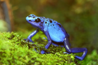 (C) Poison dart frog at Sylvan Heights Bird Park, NC. © 2012 Kenneth R. Sheide