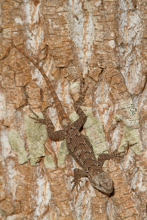 Eastern Fence Lizard on tree trunk, Williamsburg, VA. © 2013 Kenneth R. Sheide