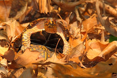 Eastern Box Turtles (Terrapene carolina carolina) mating. © 2007 Kenneth R. Sheide