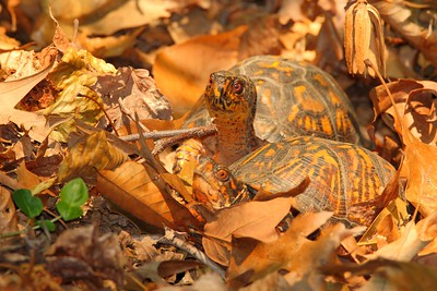 Eastern Box Turtles (Terrapene carolina carolina) preparing to mate. Newport News, VA. © 2007 Kenneth R. Sheide